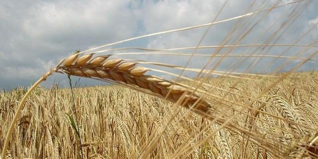 800px-grain-field